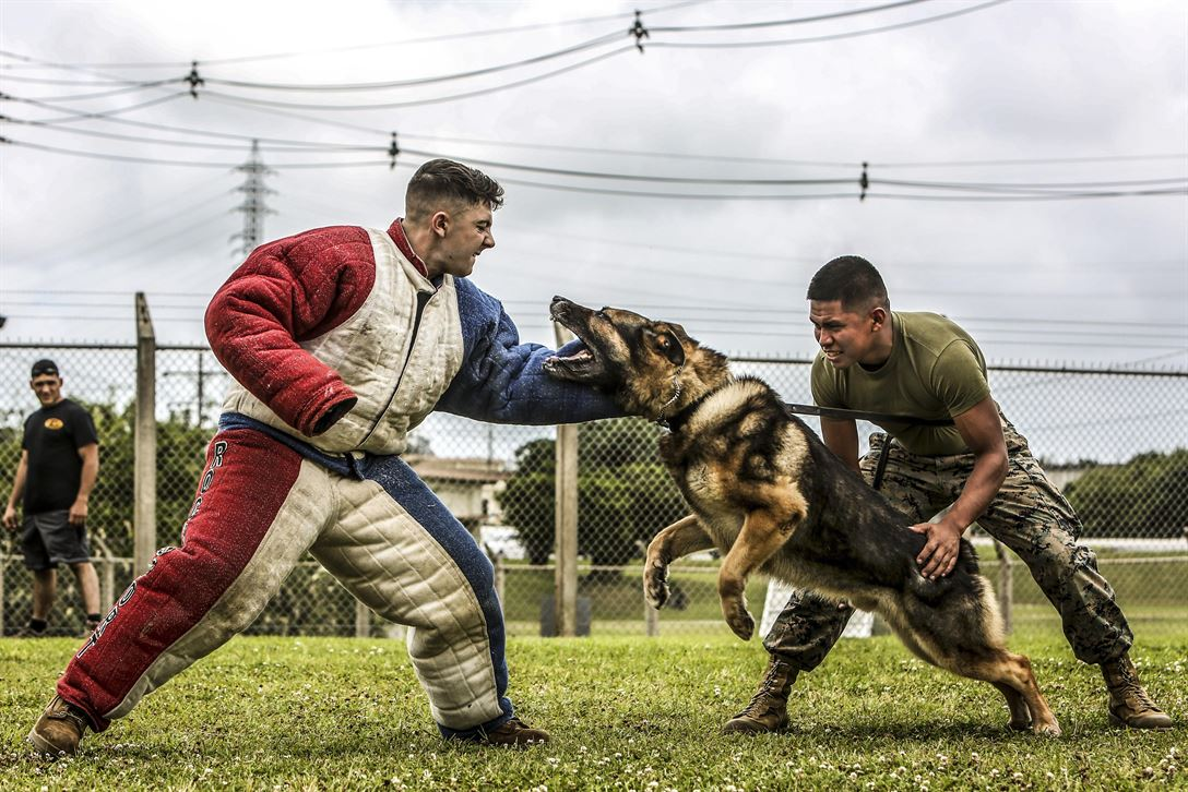 Marine Corps Lance Cpl. Jose Ruiz maintains control of Ciro, a military working dog, as the dog attacks Cpl. Matthew Byrd, who is playing the role of an aggressor during training at Kadena Air Base in Okinawa, Japan, May 30, 2017. Ruiz and Byrd are both dog handlers. Marine Corps photo by Cpl. Allison Lotz
